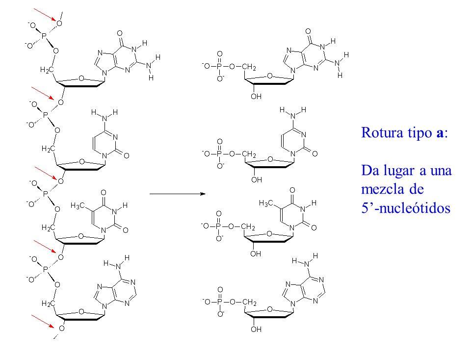 Rotura tipo a: Da lugar a una mezcla de 5'-nucleótidos