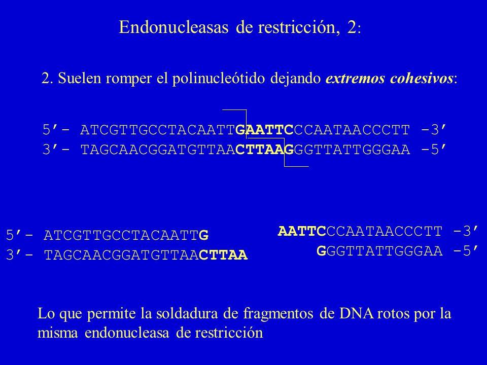 Endonucleasas de restricción, 2: