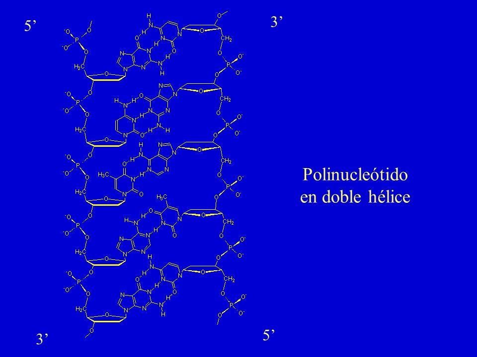 3' 5' Polinucleótido en doble hélice 5' 3'