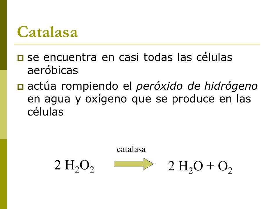 Catalasa se encuentra en casi todas las células aeróbicas. actúa rompiendo el peróxido de hidrógeno en agua y oxígeno que se produce en las células.