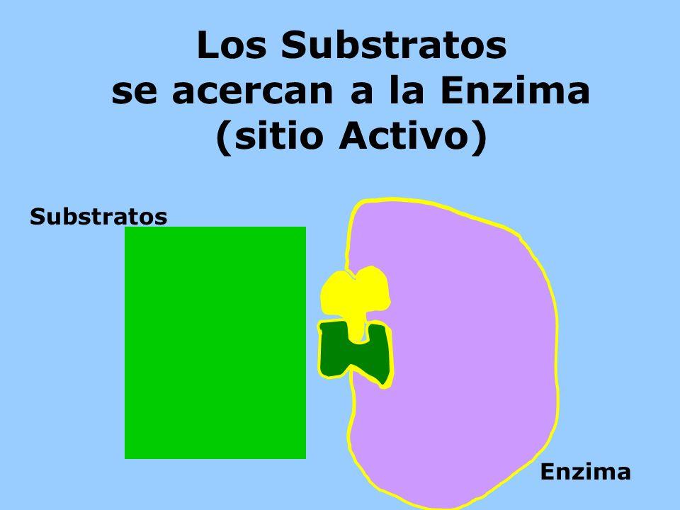 Los Substratos se acercan a la Enzima (sitio Activo)