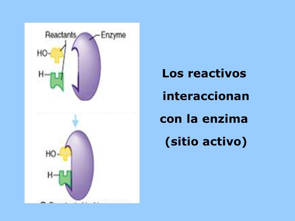 Los reactivos interaccionan con la enzima (sitio activo)