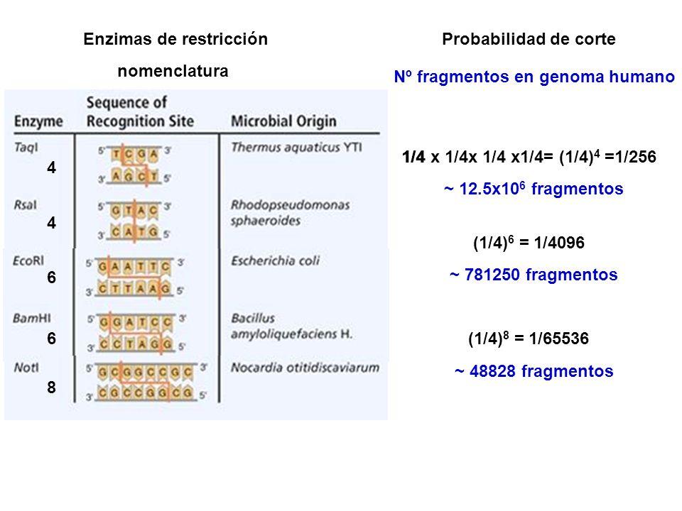 Enzimas de restricción Nº fragmentos en genoma humano