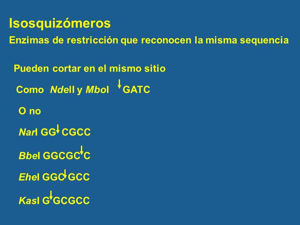 Isosquizómeros Enzimas de restricción que reconocen la misma sequencia