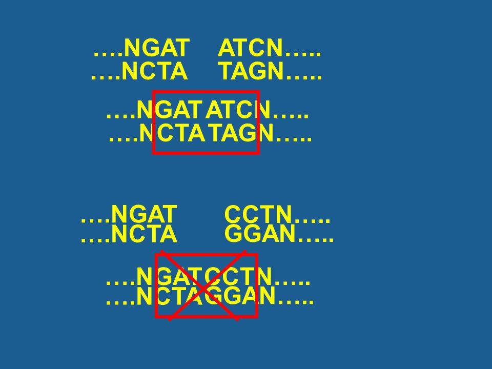 ….NGAT ATCN….. ….NCTA. TAGN….. ….NGAT. ….NCTA. ATCN….. TAGN….. ….NCTA. ….NGAT. CCTN….. GGAN…..