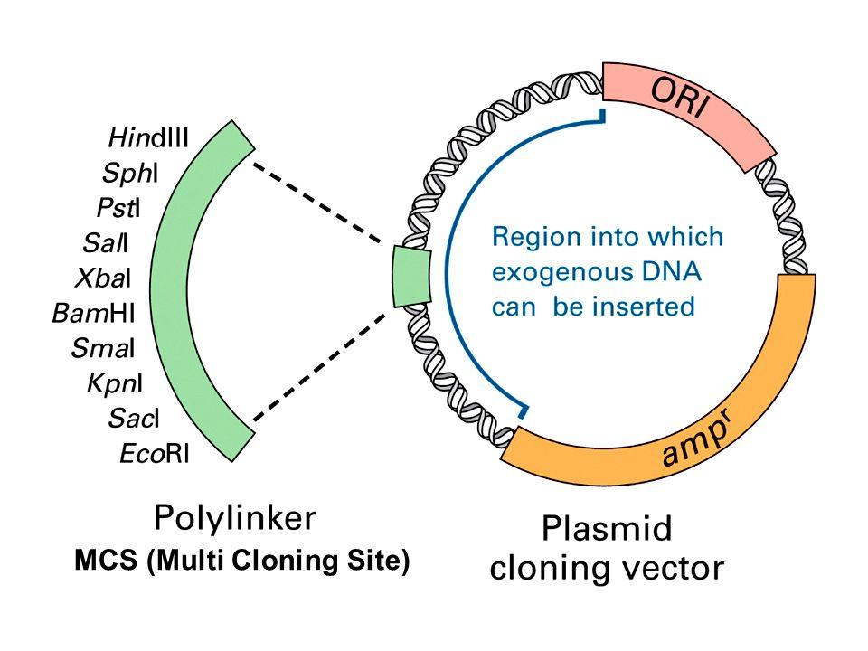 MCS (Multi Cloning Site)