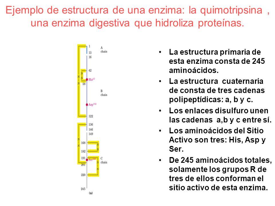 Ejemplo de estructura de una enzima: la quimotripsina , una enzima digestiva que hidroliza proteínas.