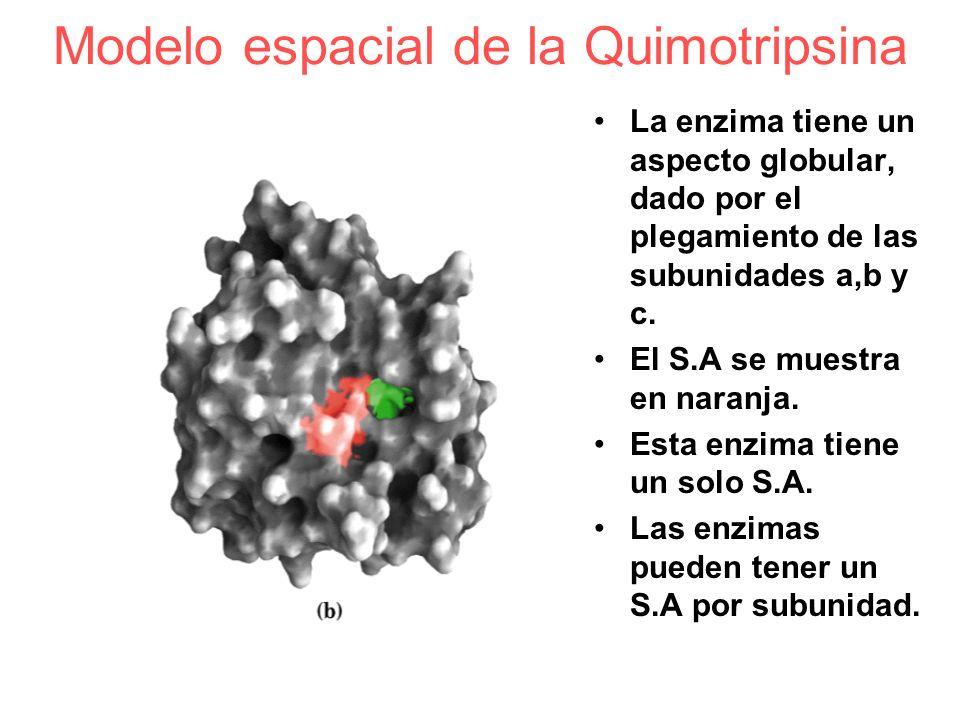 Modelo espacial de la Quimotripsina