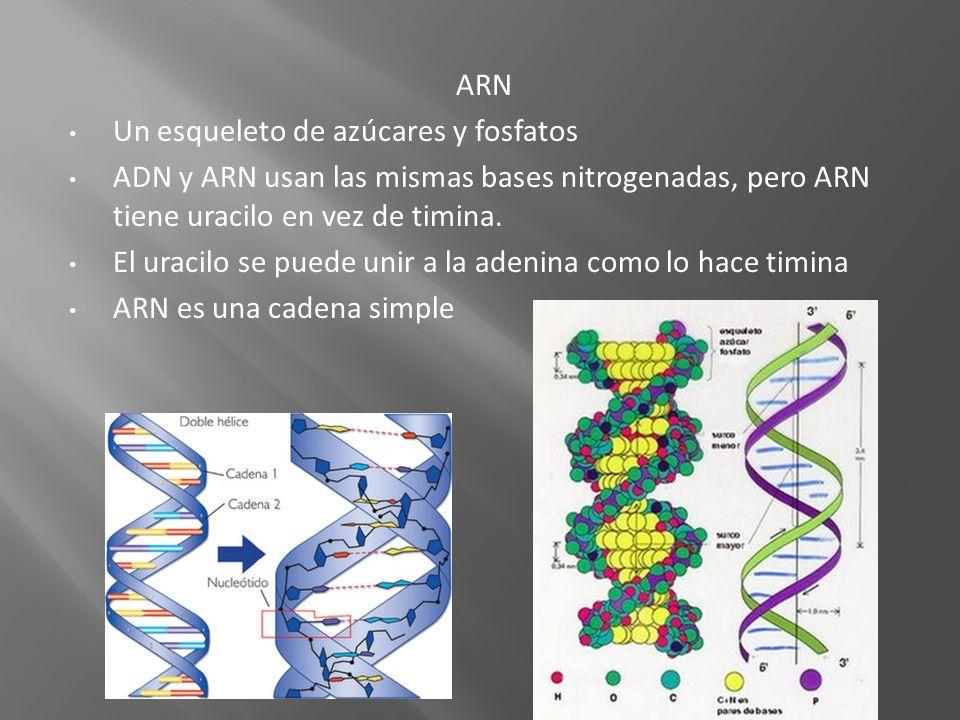 ARN Un esqueleto de azúcares y fosfatos. ADN y ARN usan las mismas bases nitrogenadas, pero ARN tiene uracilo en vez de timina.