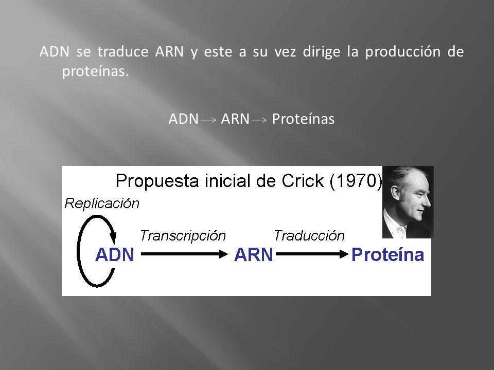 ADN se traduce ARN y este a su vez dirige la producción de proteínas