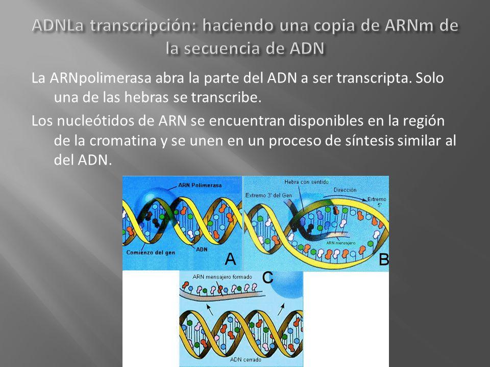 ADNLa transcripción: haciendo una copia de ARNm de la secuencia de ADN