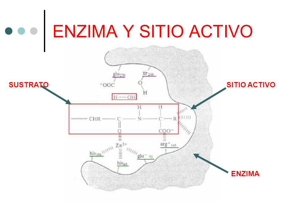 ENZIMA Y SITIO ACTIVO SUSTRATO SITIO ACTIVO ENZIMA