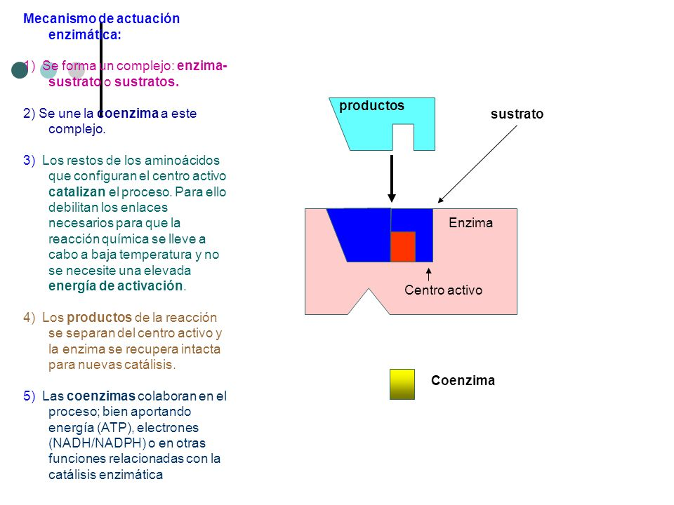 Mecanismo de actuación enzimática: