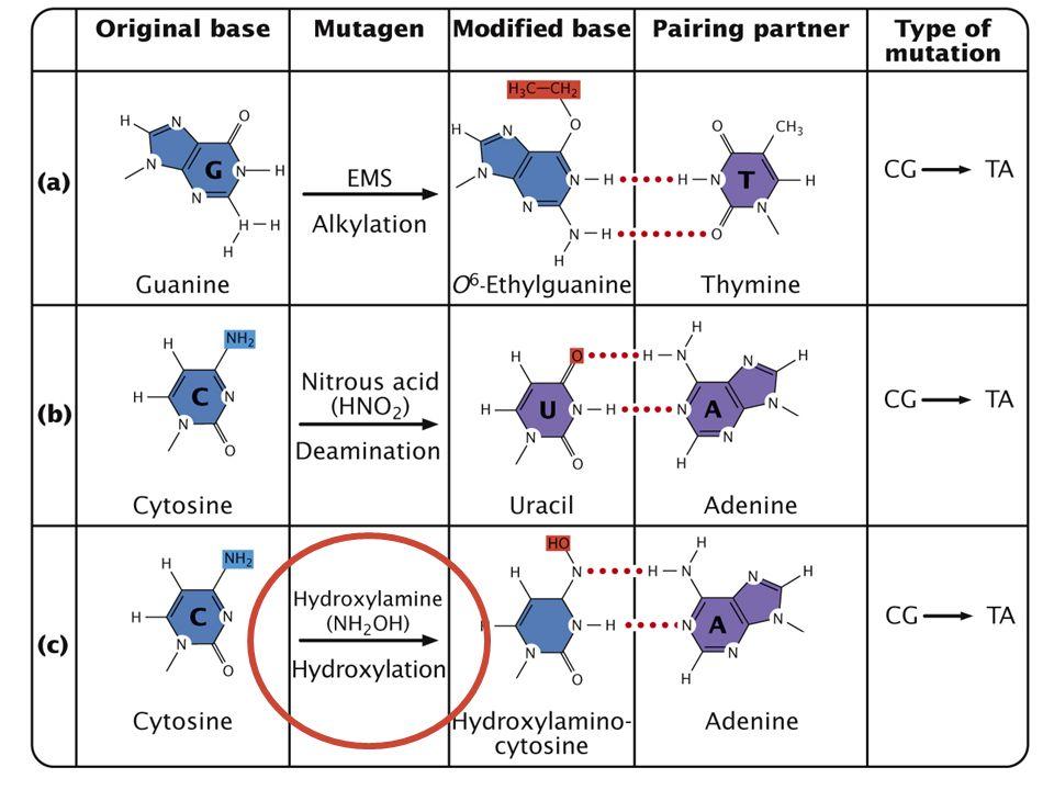 Agentes alquilantes: como el EMS que añade radicales etilo y produce transiciones GC→AT. La NG añade radicales metilo y produce también transiciones GC→AT.