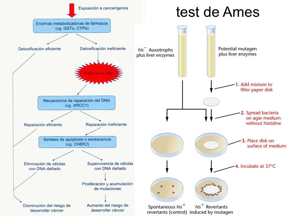 test de Ames Fig. 13- tesis Juana María -marzo 2009- Modelo de carcinogénesis (modificado de Kotnis et al, 2005).