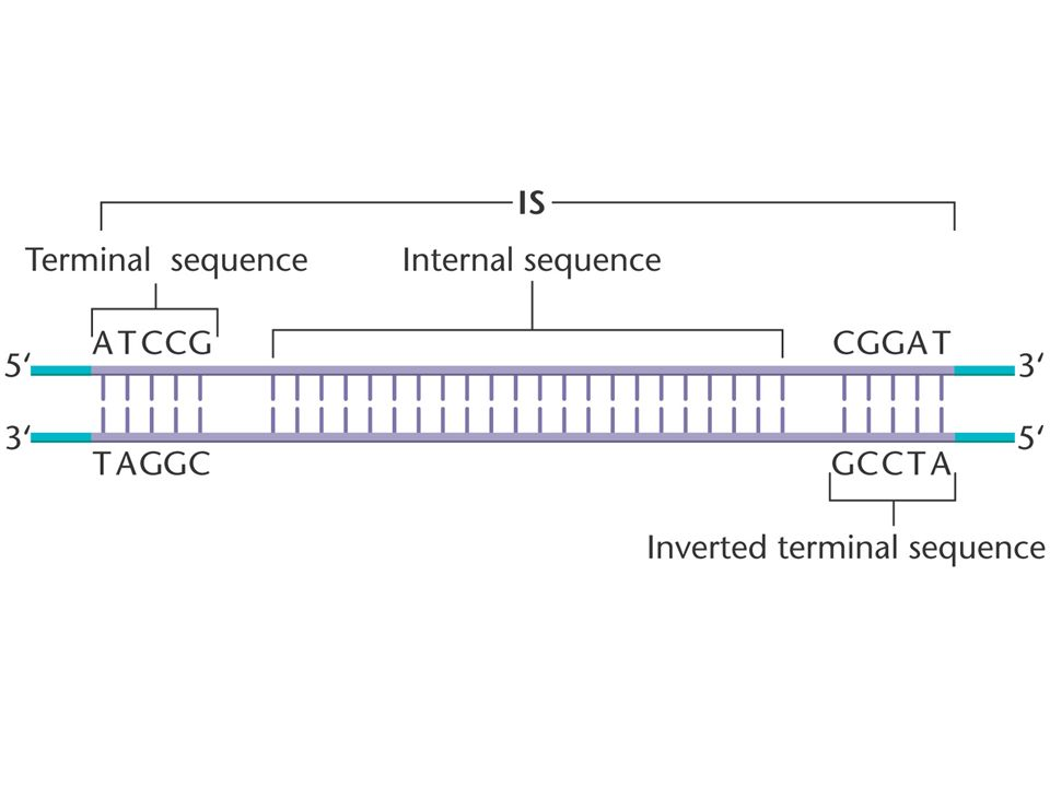 Transposable Elements Move within the Genome and May Disrupt Genetic Function.