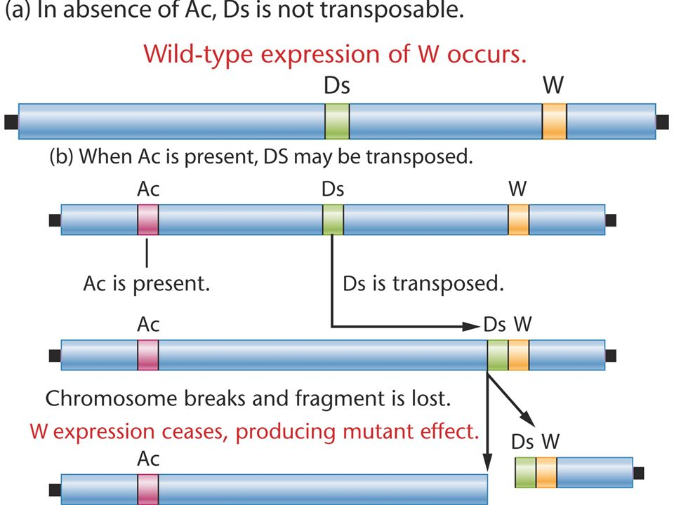 Ds moves only if Ac is present, but Ac is capable of autonomous movement (Figure 15.22).