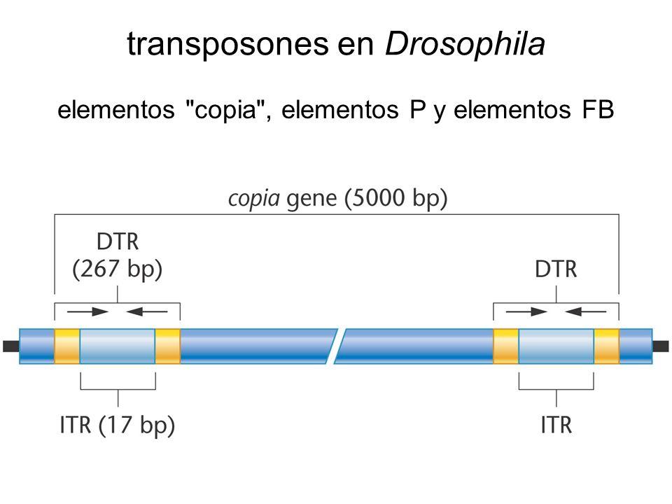 transposones en Drosophila