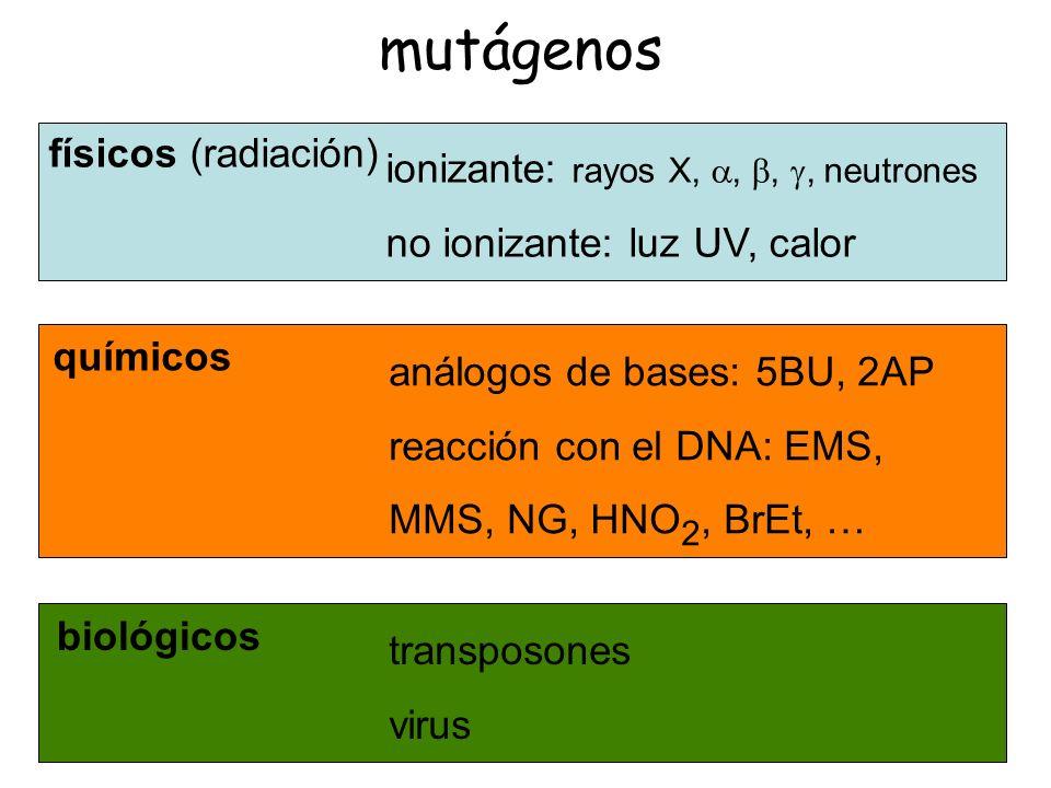 mutágenos químicos análogos de bases: 5BU, 2AP