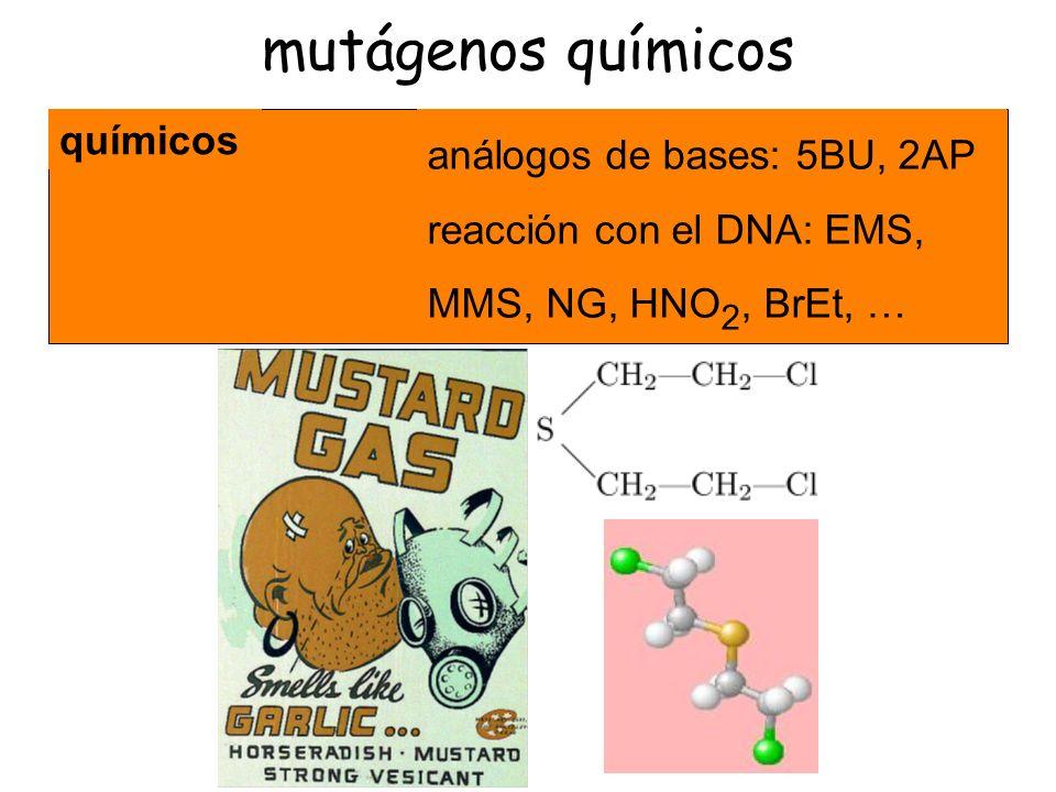 mutágenos químicos químicos análogos de bases: 5BU, 2AP