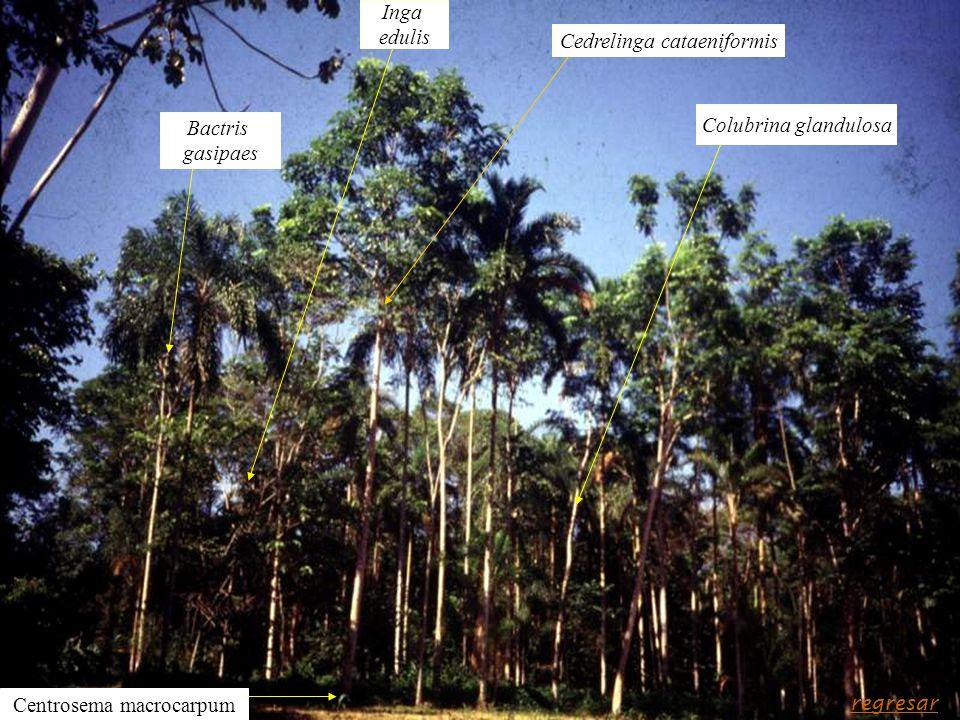 Cedrelinga cataeniformis