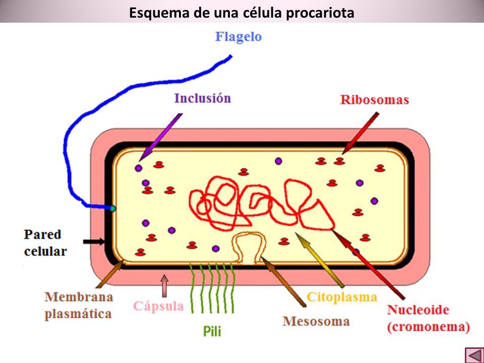 Esquema de una célula procariota