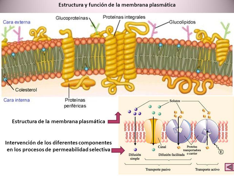 Estructura y función de la membrana plasmática