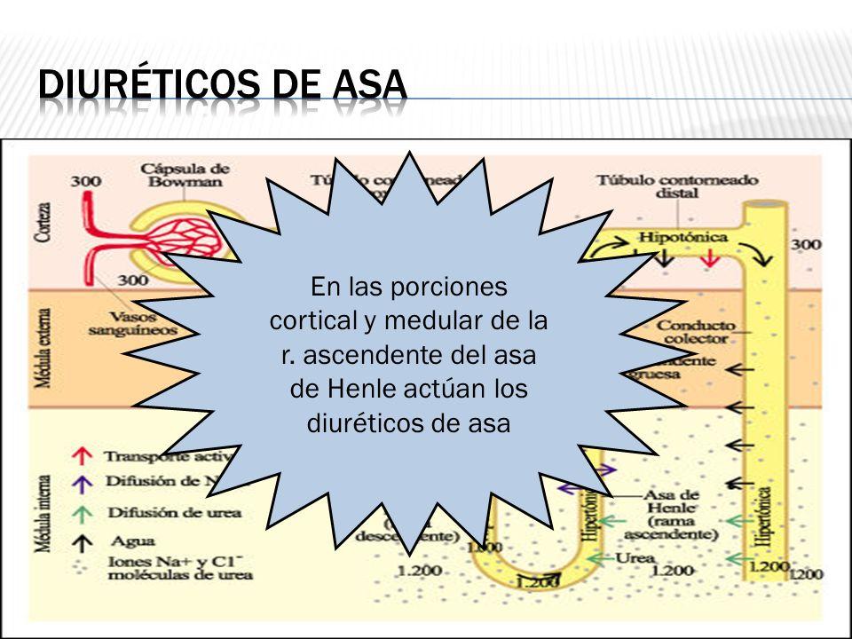 Diuréticos de asa En las porciones cortical y medular de la r.