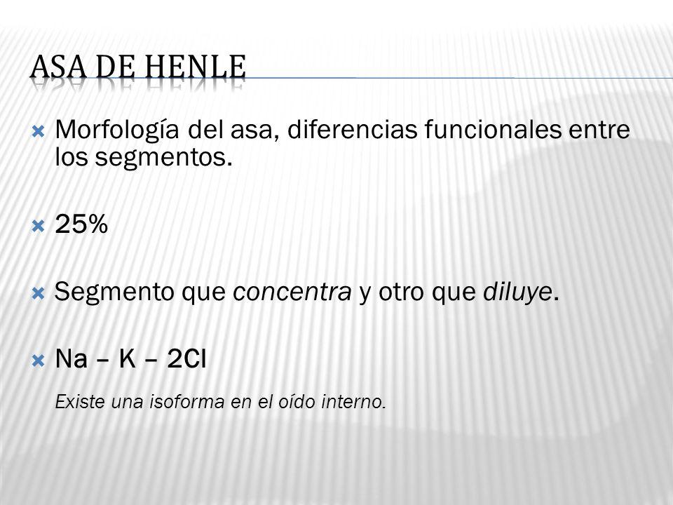 ASA DE HENLE Morfología del asa, diferencias funcionales entre los segmentos. 25% Segmento que concentra y otro que diluye.