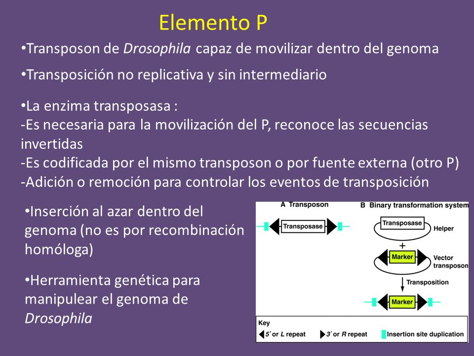 Elemento P Transposon de Drosophila capaz de movilizar dentro del genoma. Transposición no replicativa y sin intermediario.