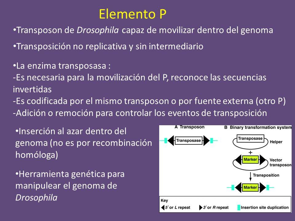 Elemento P Transposon de Drosophila capaz de movilizar dentro del genoma. Transposición no replicativa y sin intermediario.