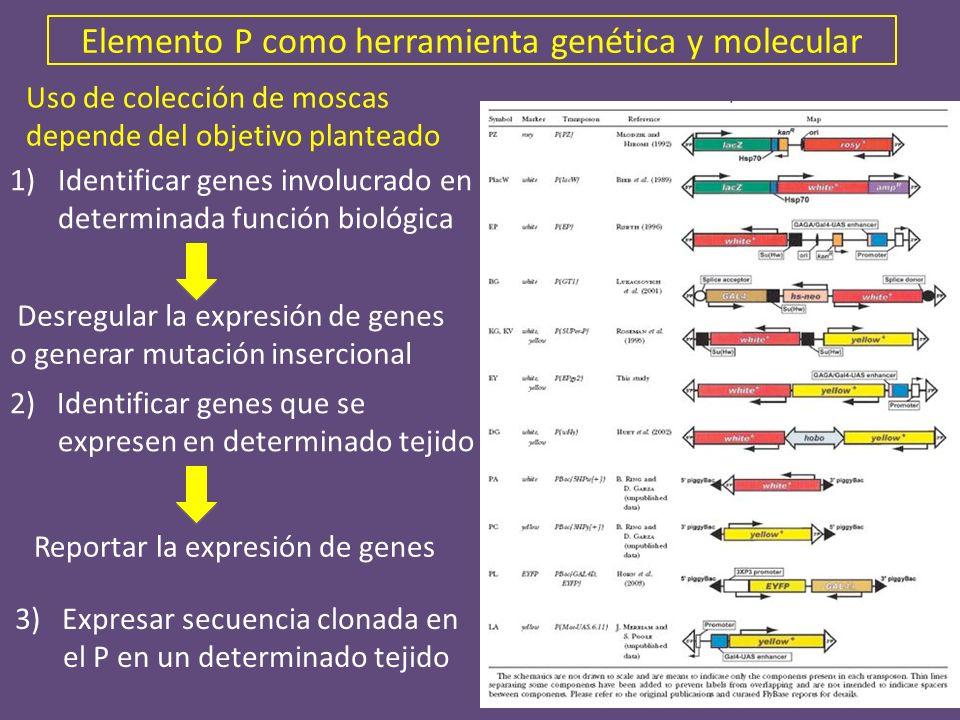 Elemento P como herramienta genética y molecular