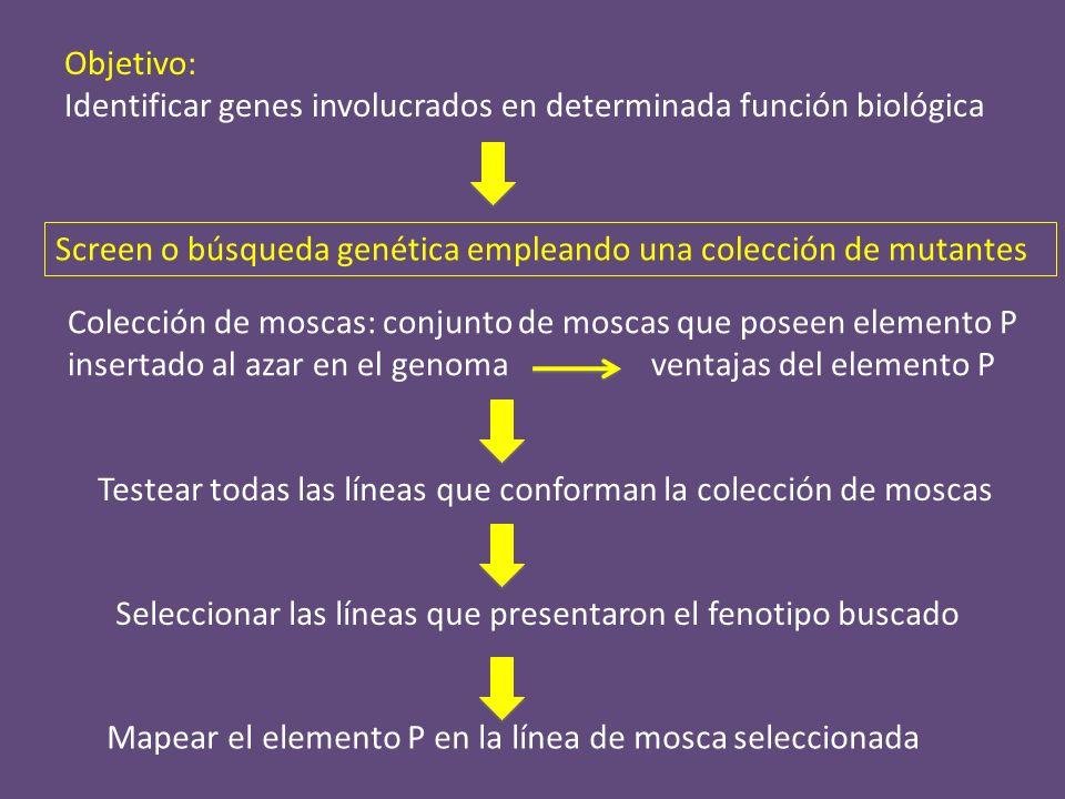 Objetivo: Identificar genes involucrados en determinada función biológica. Screen o búsqueda genética empleando una colección de mutantes.