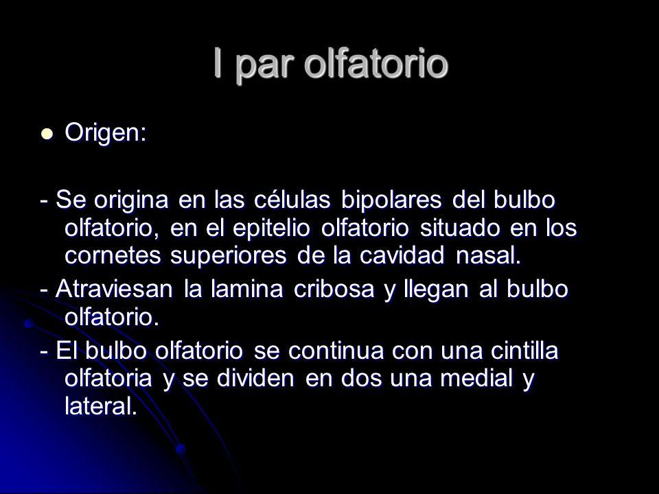 I par olfatorio Origen: