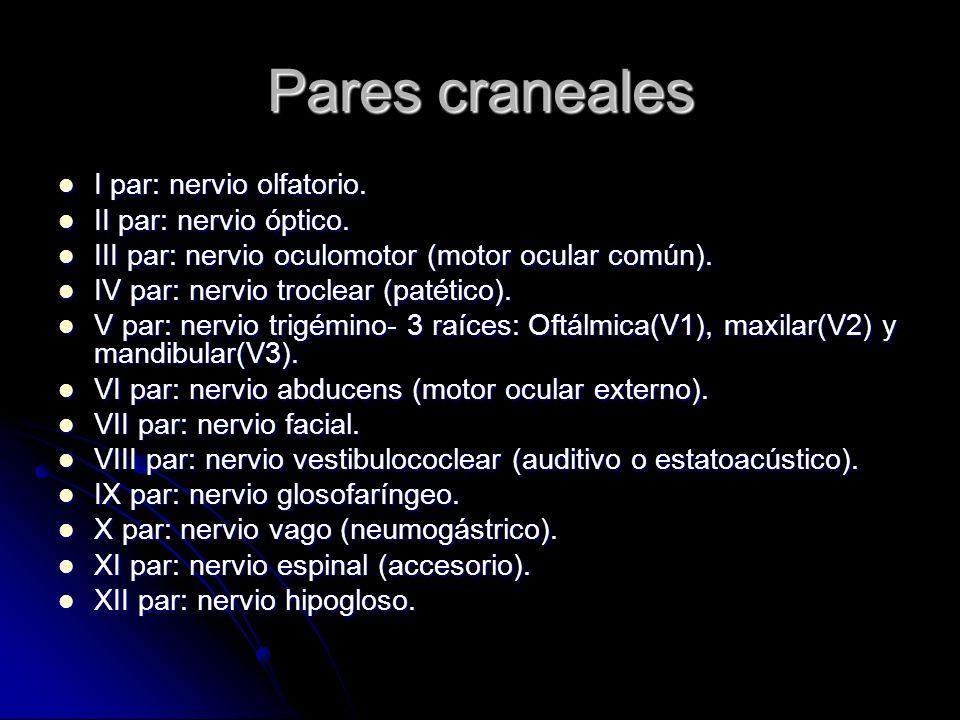 Pares craneales I par: nervio olfatorio. II par: nervio óptico.