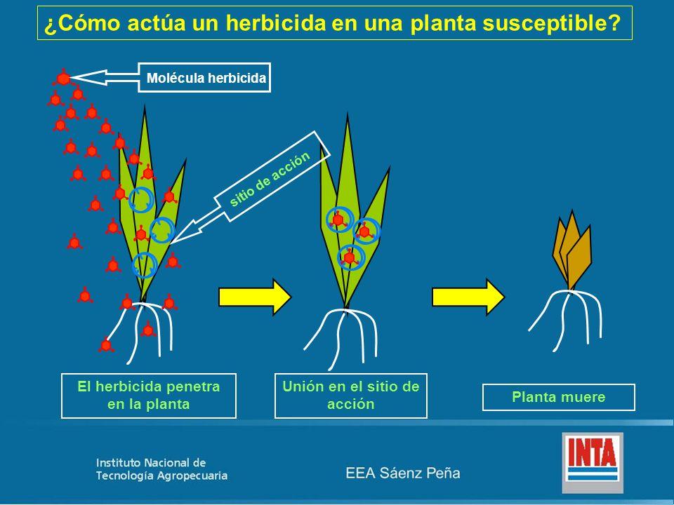 El herbicida penetra en la planta Unión en el sitio de acción