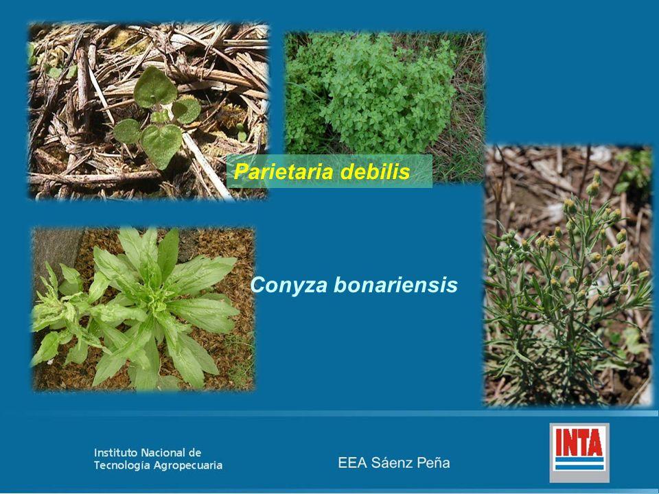 Parietaria debilis Conyza bonariensis
