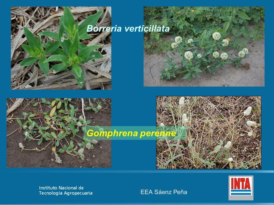 Borreria verticillata