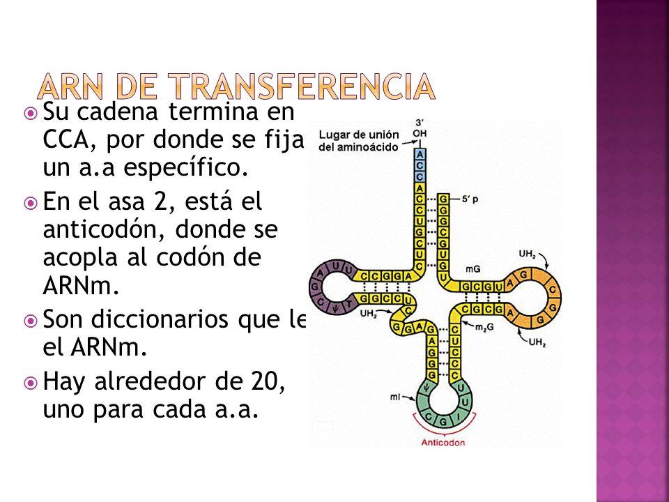 ARN de transferencia Su cadena termina en CCA, por donde se fija a un a.a específico.