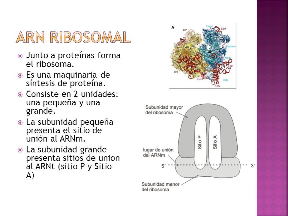 Arn ribosomal Junto a proteínas forma el ribosoma.