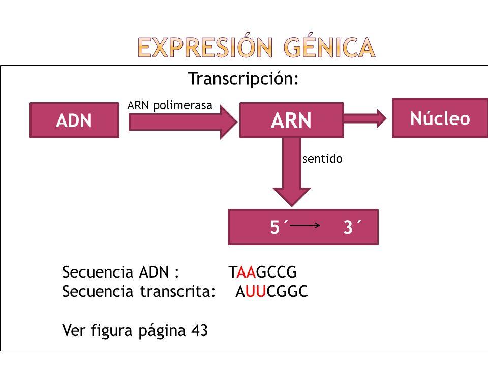Expresión Génica ARN Núcleo ADN 5´ 3´ Transcripción:
