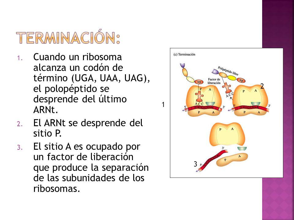 Terminación: Cuando un ribosoma alcanza un codón de término (UGA, UAA, UAG), el polopéptido se desprende del último ARNt.