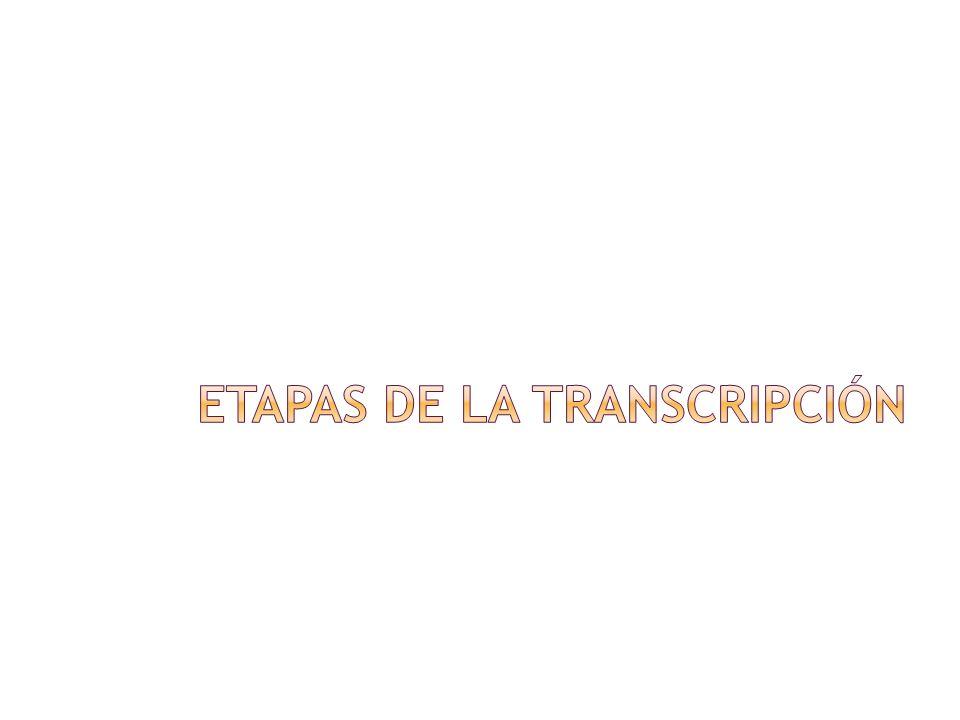 Etapas de la transcripción