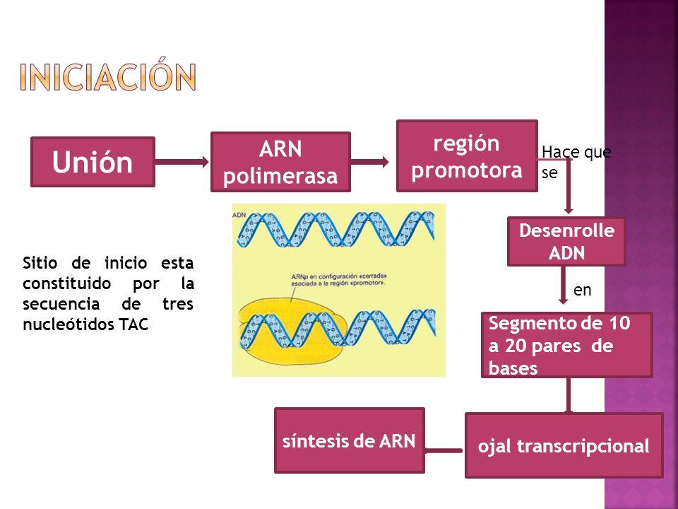 iniciación Unión región promotora ARN polimerasa Desenrolle ADN