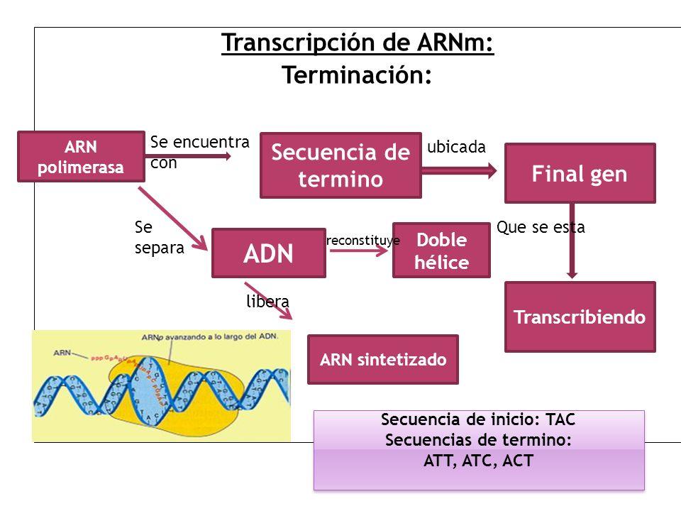 ADN Transcripción de ARNm: Terminación: Secuencia de termino Final gen