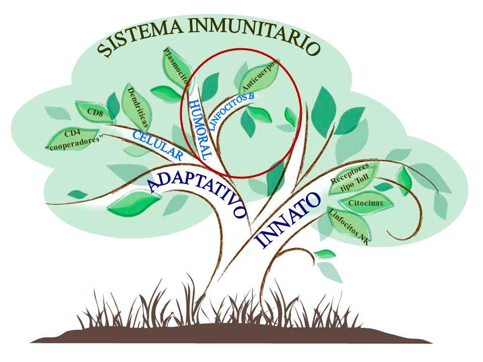 SISTEMA INMUNITARIO ADAPTATIVO INNATO Plasmocitos Anticuerpos