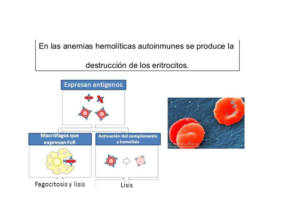 Macrófagos que expresan FcR Activación del complemento y hemolisis