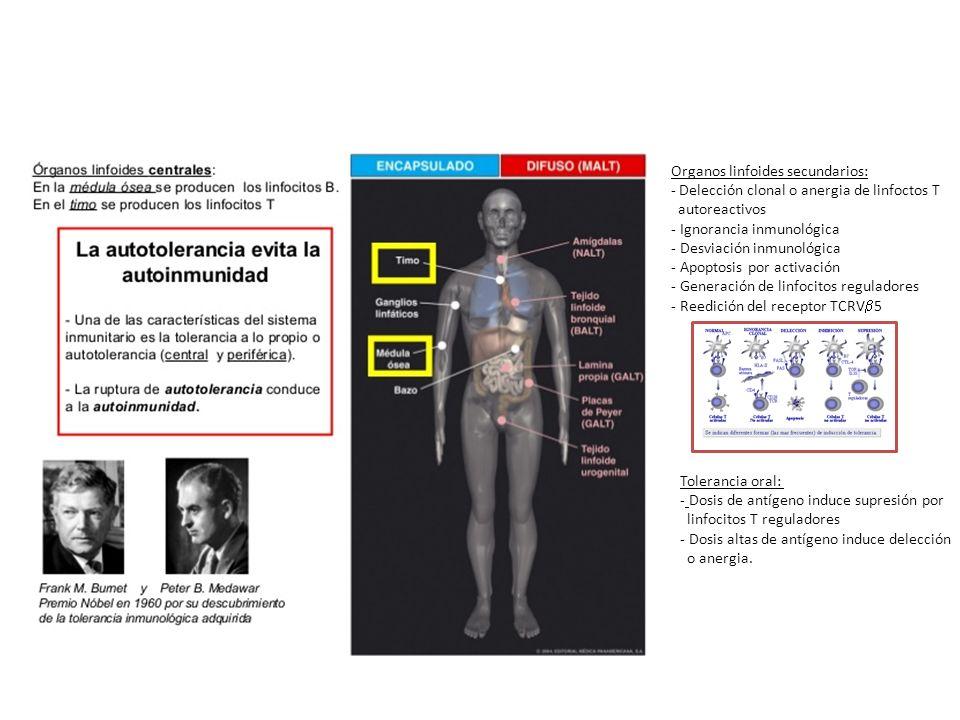 Organos linfoides secundarios: