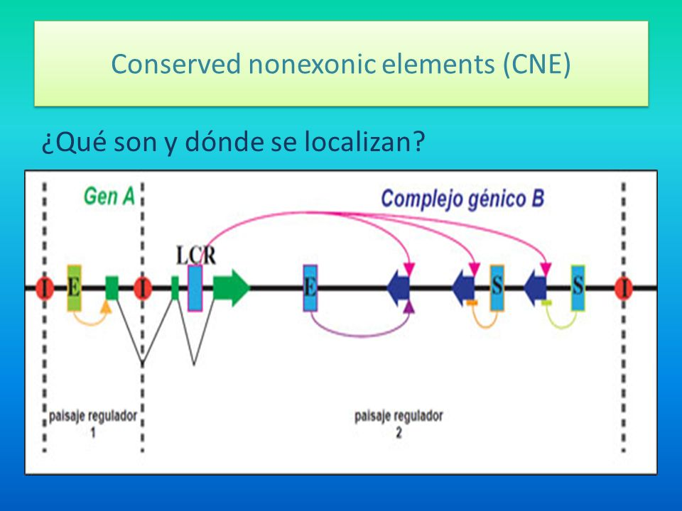 Conserved nonexonic elements (CNE)