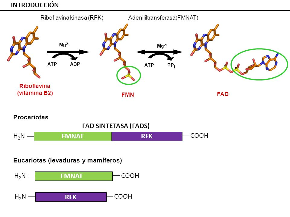 INTRODUCCIÓN FAD SINTETASA (FADS) FMNAT RFK H2N COOH COOH H2N FMNAT